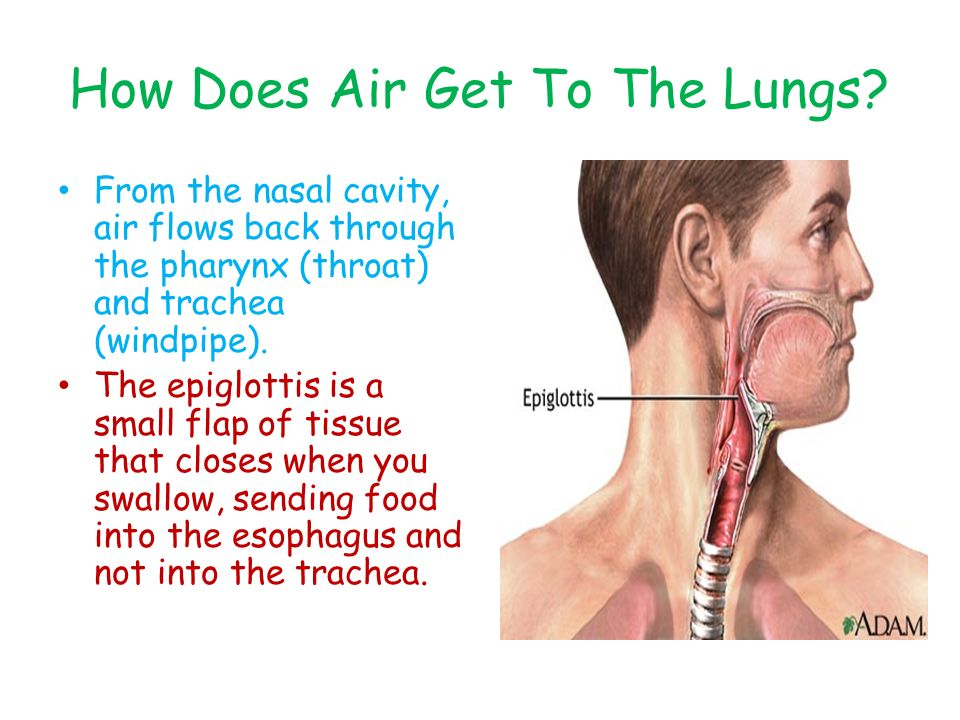 How Does Air Get To The Lungs