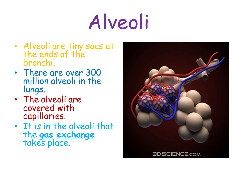 Alveoli Alveoli are tiny sacs at the ends of the bronchi.