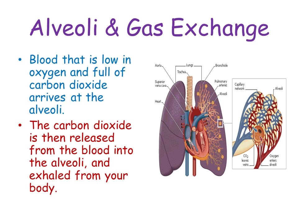 Alveoli & Gas Exchange Blood that is low in oxygen and full of carbon dioxide arrives at the alveoli.