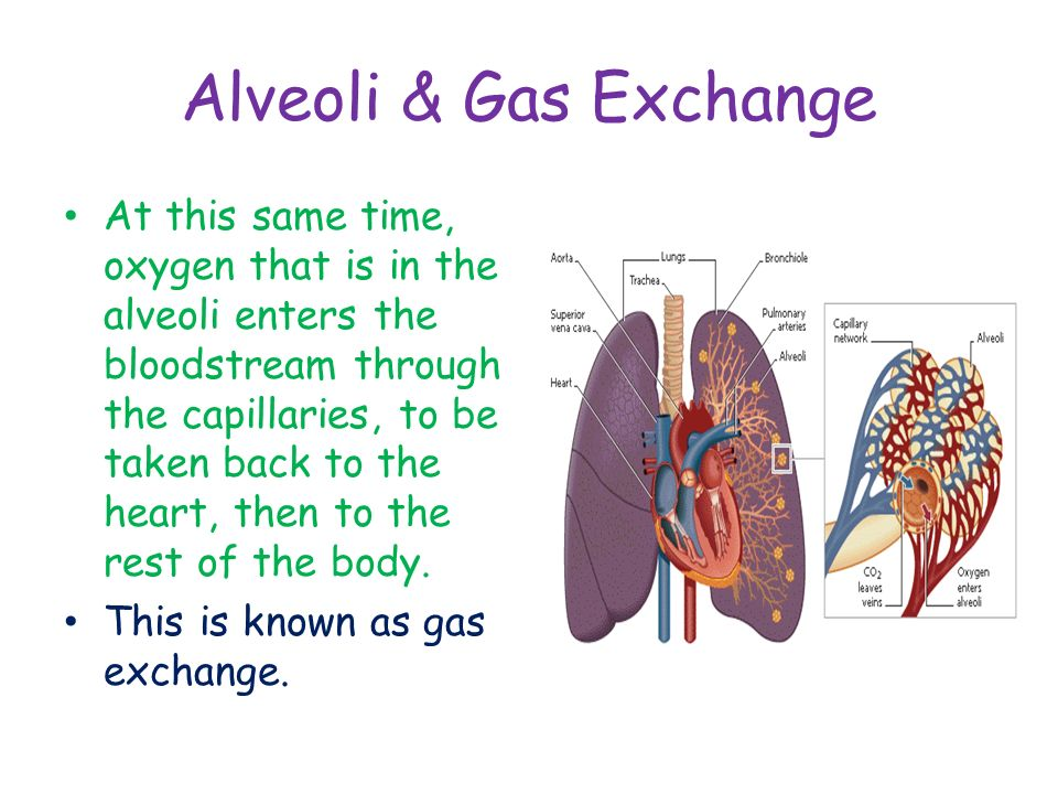 Alveoli & Gas Exchange