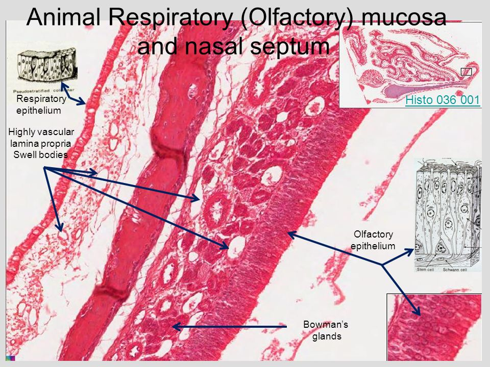 the histology guide respiratory - 960×720