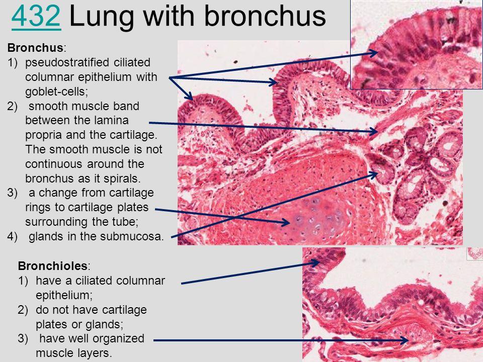 respiratory system histology - 960×720