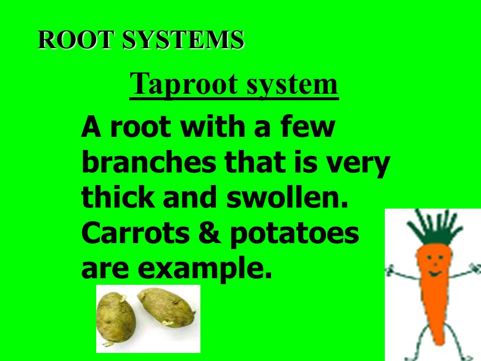 ROOT SYSTEMS Taproot system. A root with a few branches that is very thick and swollen.