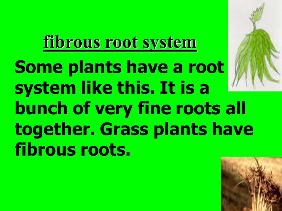 fibrous root system Some plants have a root system like this.