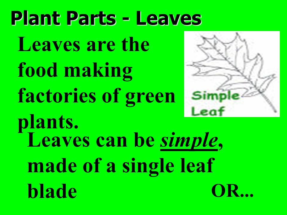 Leaves are the food making factories of green plants.