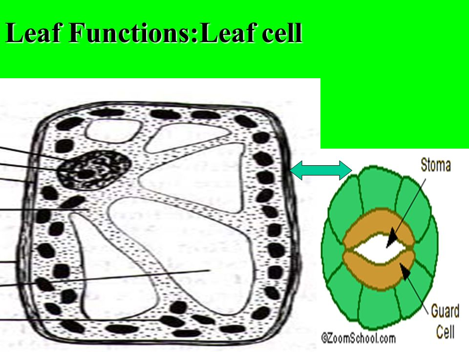 Leaf Functions:Leaf cell