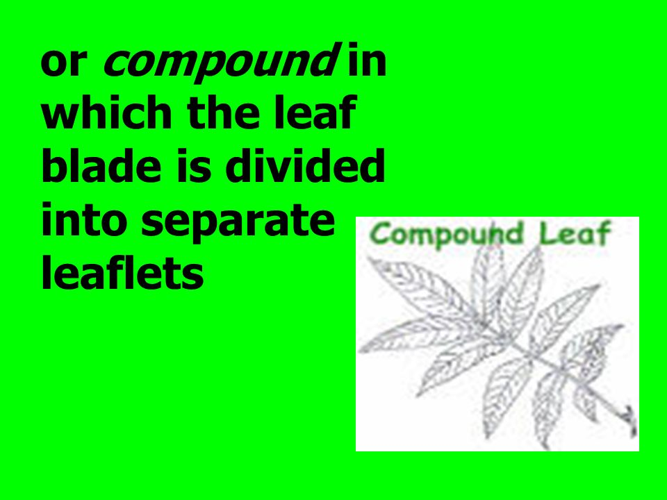 or compound in which the leaf blade is divided into separate leaflets