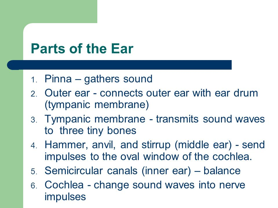 Parts of the Ear Pinna – gathers sound