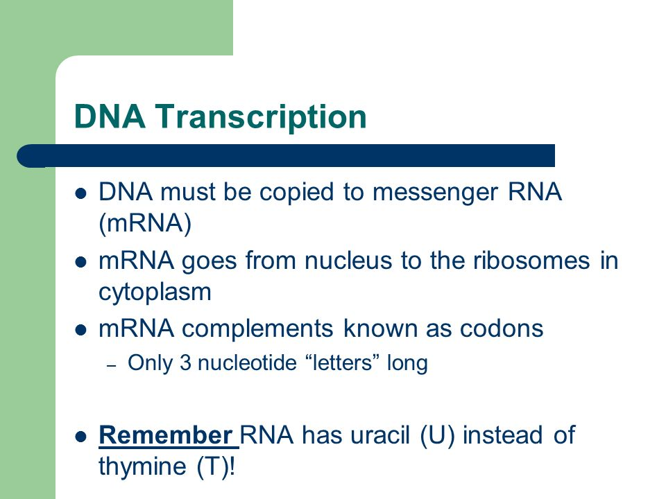 DNA Transcription DNA must be copied to messenger RNA (mRNA)