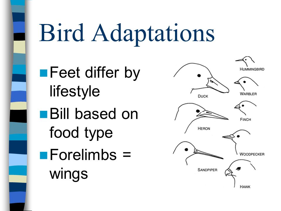 Bird Adaptations Feet differ by lifestyle Bill based on food type
