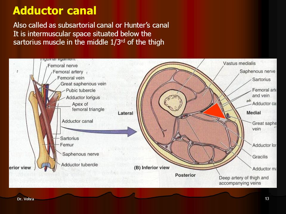 Medial Compartment Of Thigh Adductor Or Subsartorial Canal Ppt
