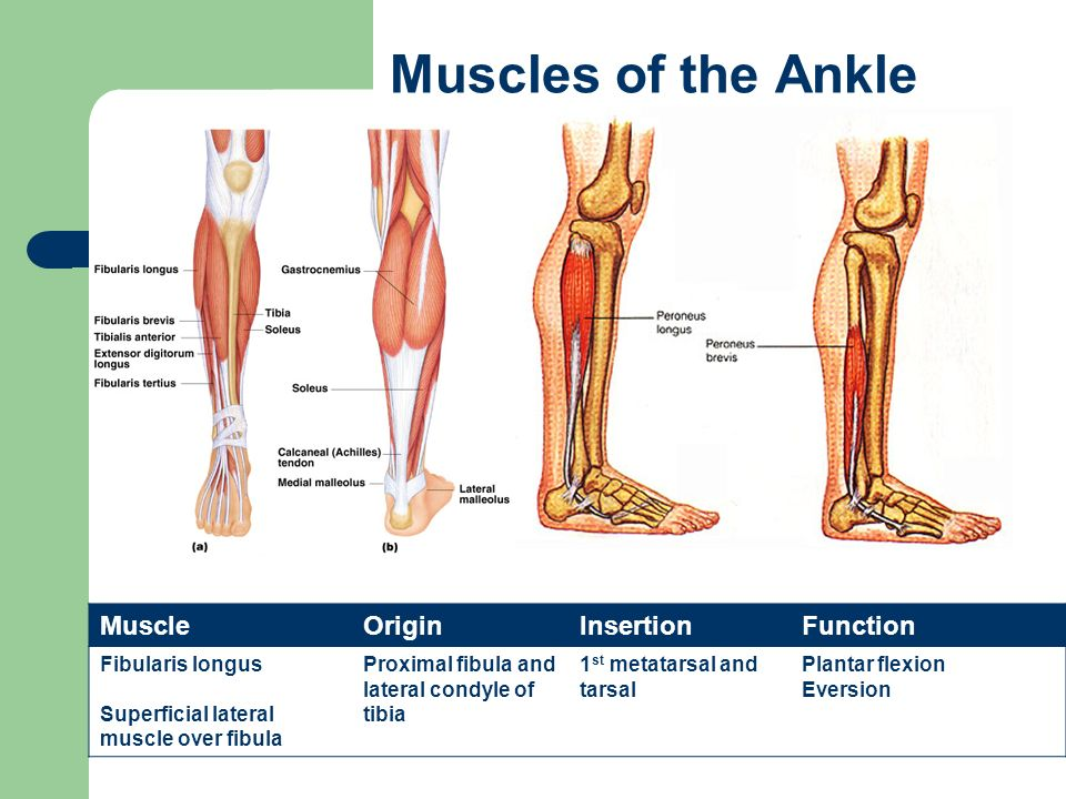 The Muscular System Types Of Muscles Ppt Video Online Download