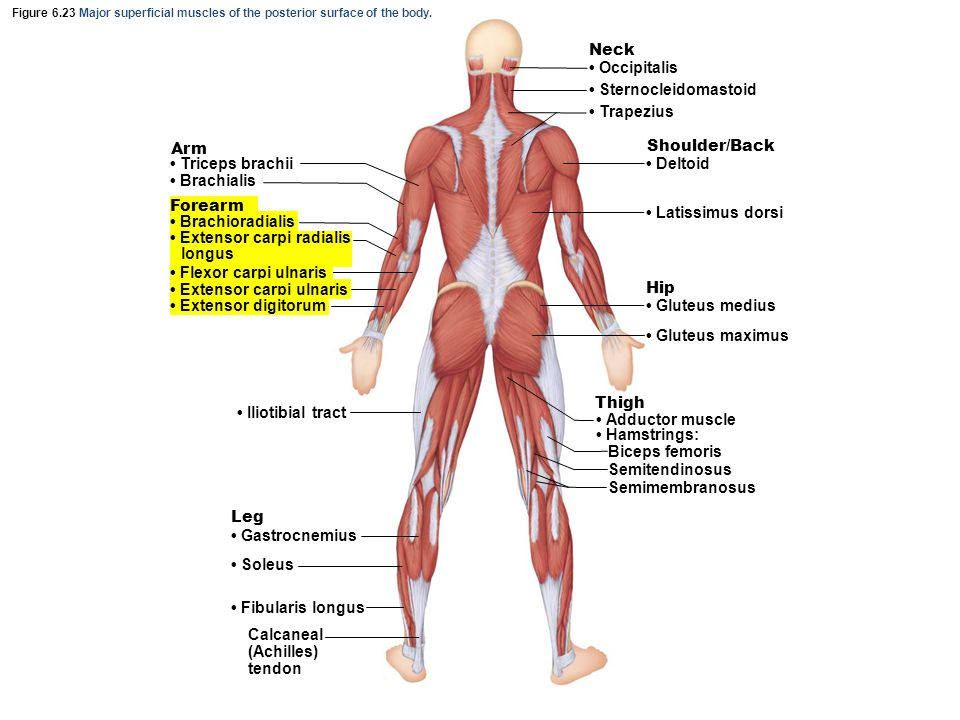Gross Anatomy Of Muscles Ppt Video Online Download
