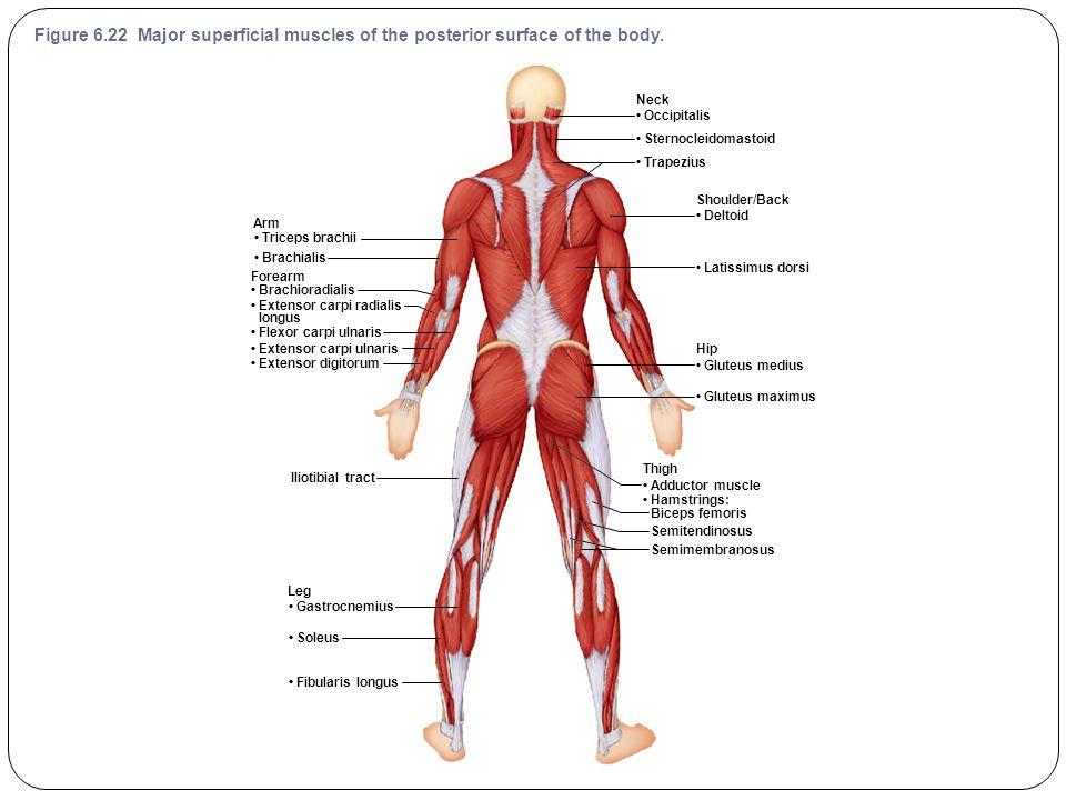 Muscular System Lab Exam Diagrams (2014) - ppt video online