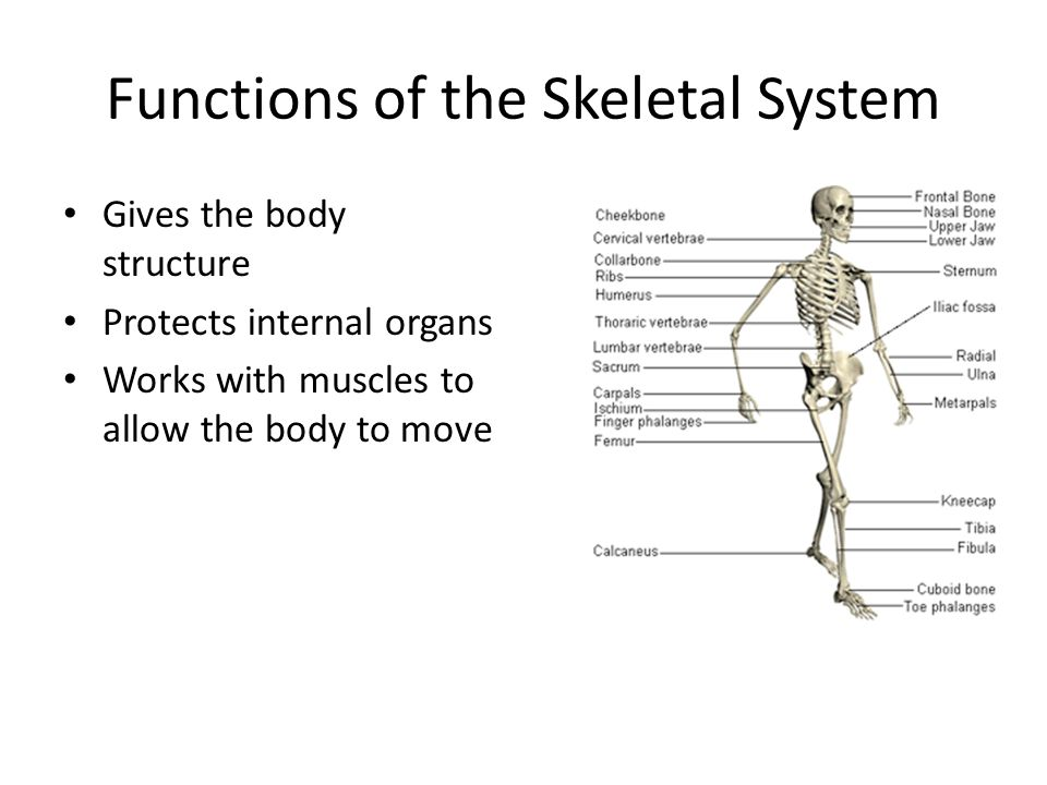Objective Swbat Relate The Parts Of The Skeletal System To Their