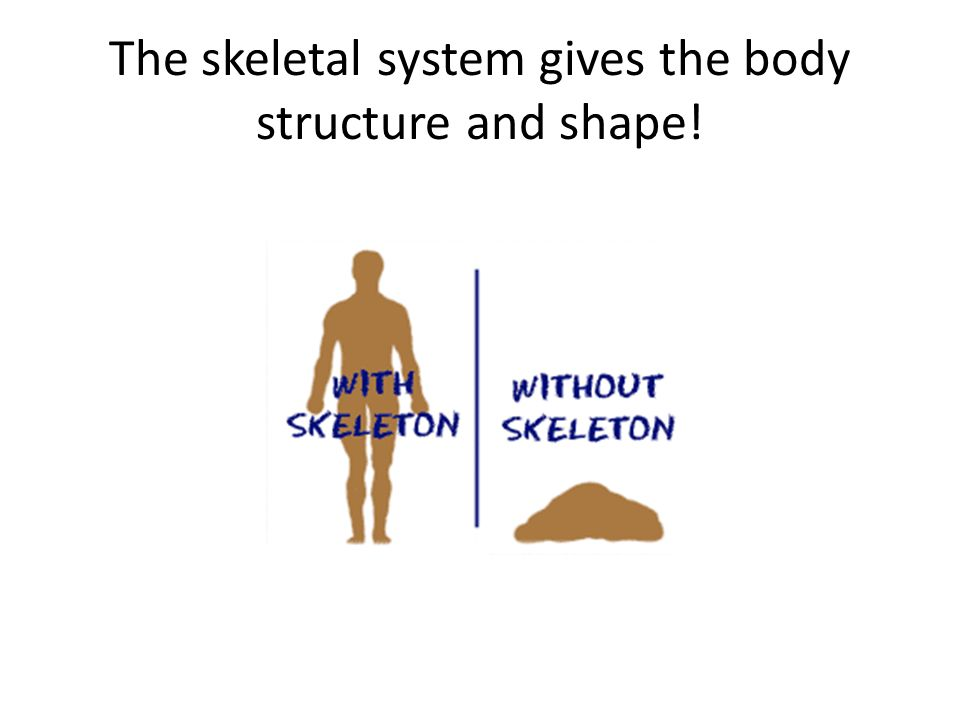 The skeletal system gives the body structure and shape!