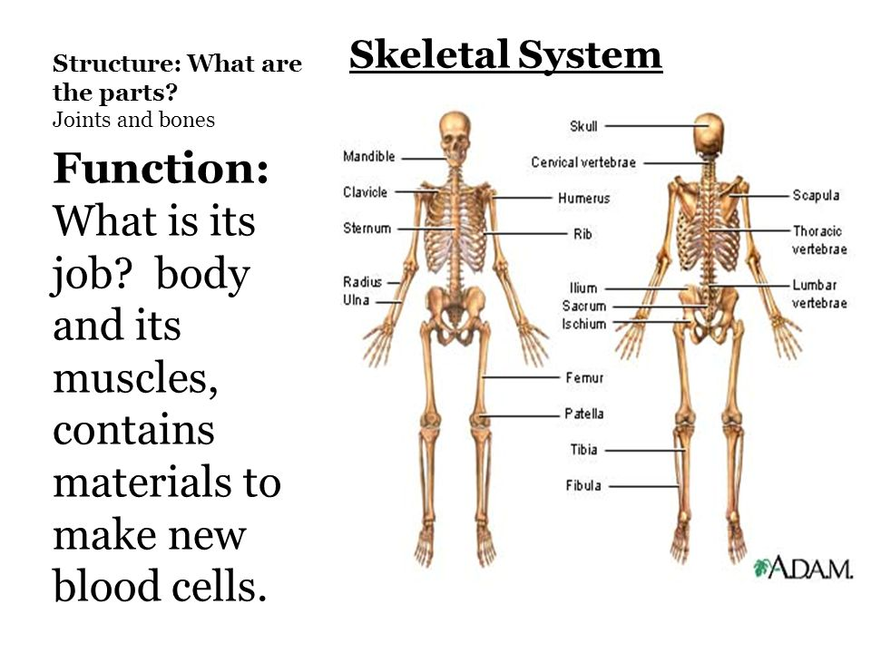 Functions Of Skeletal System Diagram Great Installation Of Wiring