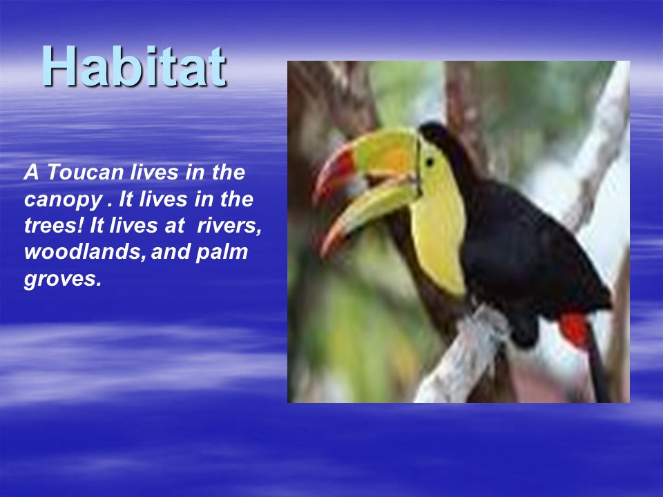 Habitat A Toucan lives in the canopy . It lives in the trees.