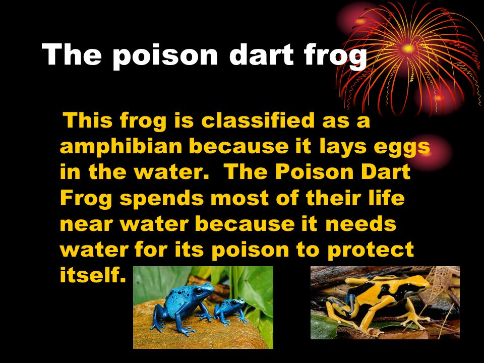 The poison dart frog