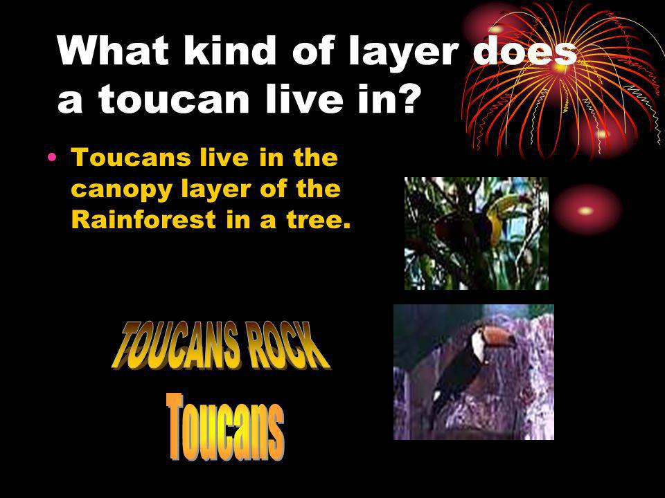 What kind of layer does a toucan live in