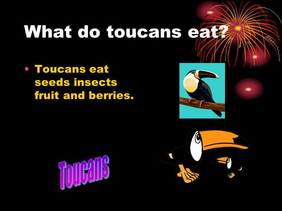 What do toucans eat Toucans