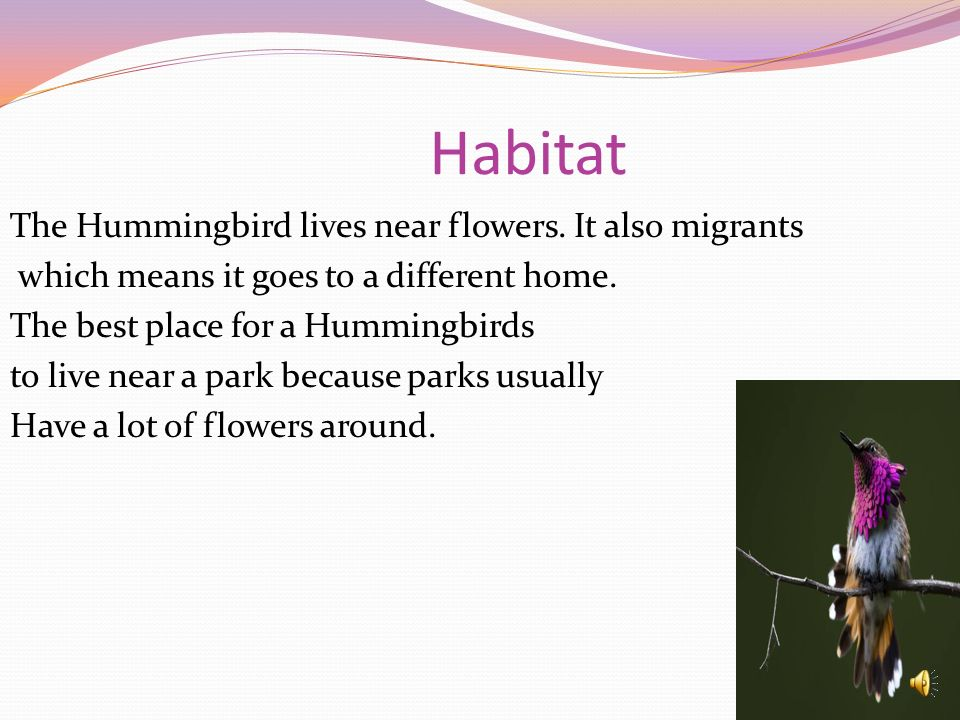 Habitat The Hummingbird lives near flowers. It also migrants