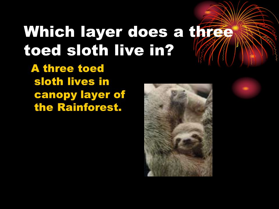 Which layer does a three toed sloth live in