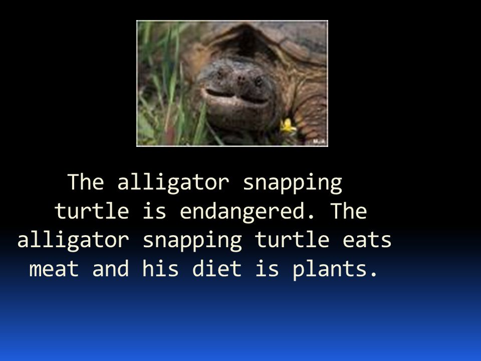 The alligator snapping turtle is endangered