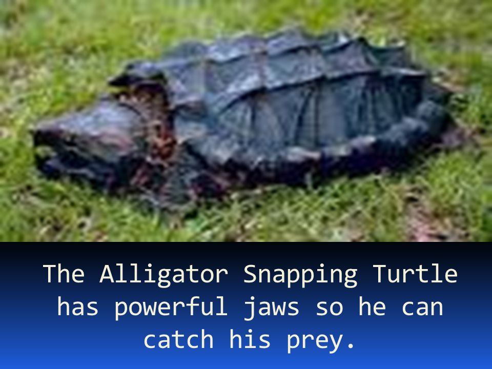 The Alligator Snapping Turtle has powerful jaws so he can catch his prey.