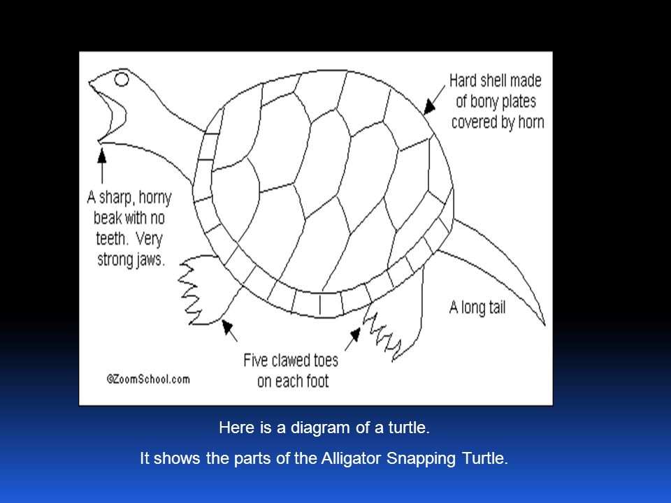 Here is a diagram of a turtle.