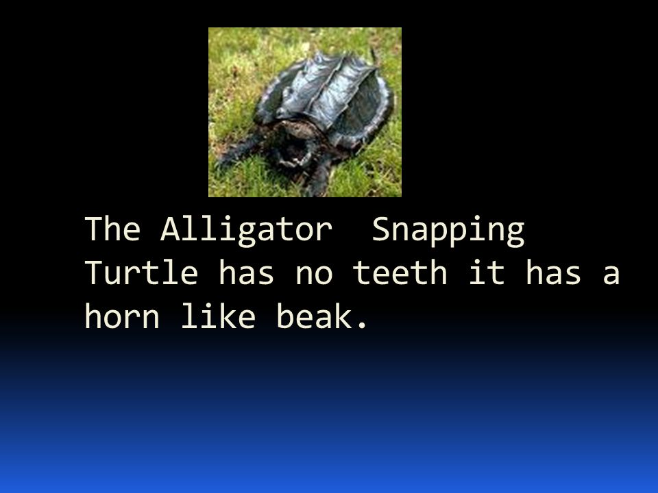 The Alligator Snapping Turtle has no teeth it has a horn like beak.