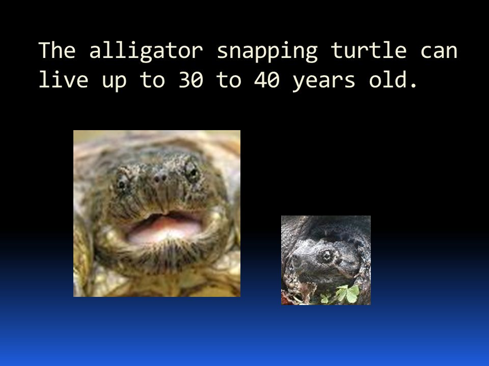 The alligator snapping turtle can live up to 30 to 40 years old.