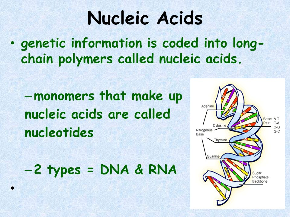 Nucleic Acids genetic information is coded into long-chain polymers called nucleic acids. monomers that make up.