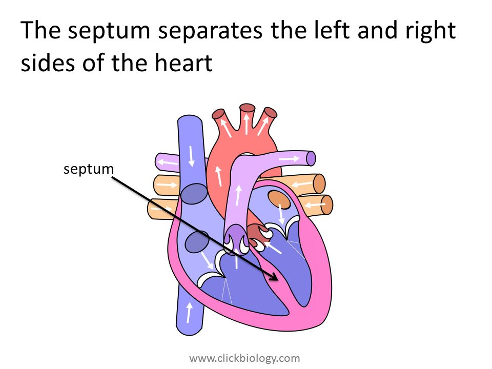 The septum separates the left and right sides of the heart