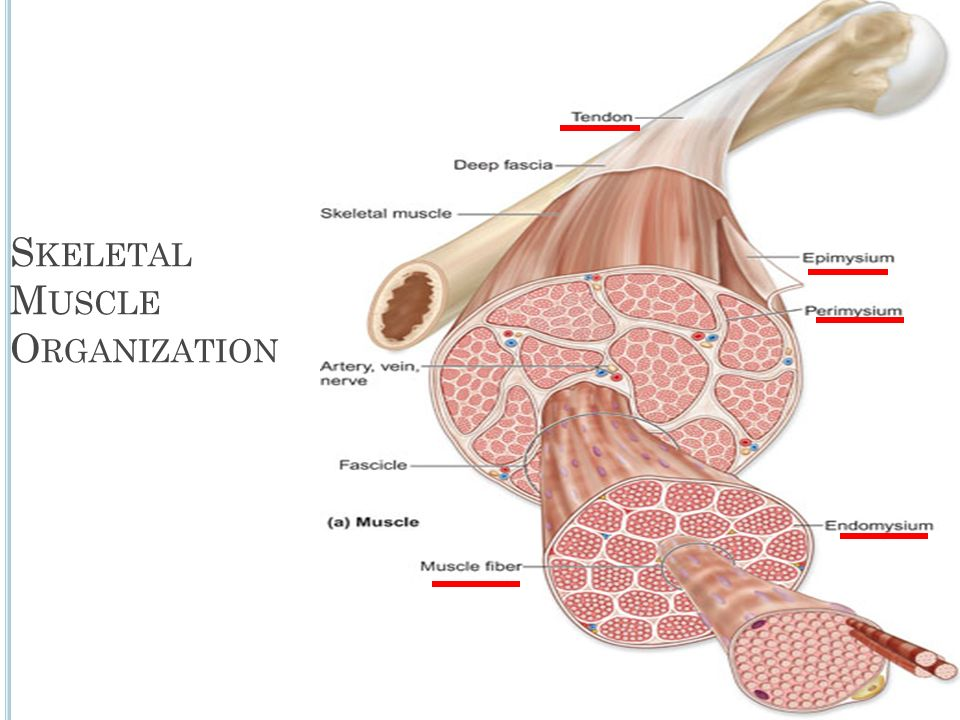 Organization Of Skeletal Muscle Ppt Video Online Download