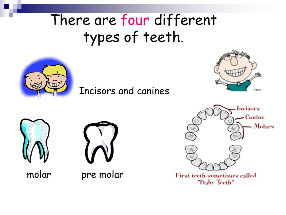There are four different types of teeth.