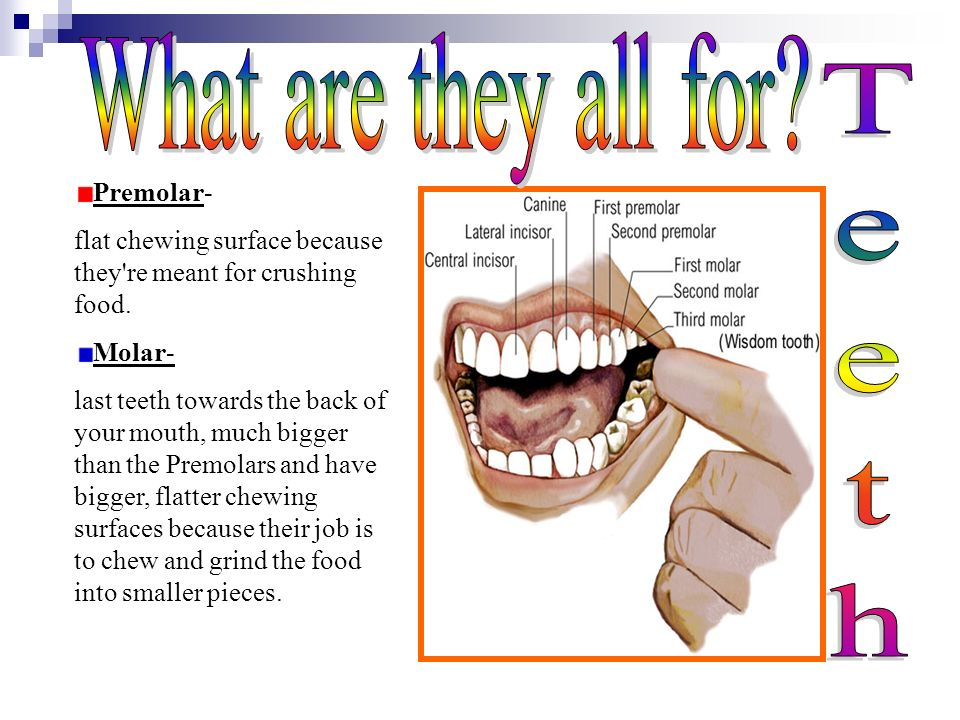 What are they all for Teeth Premolar-