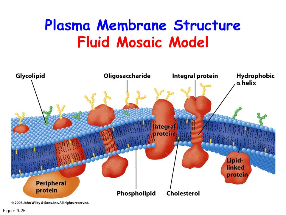 the plama membrane essay Zika virus is shown in cross section at center left on the outside, it includes envelope protein (red) and membrane protein (magenta) embedded in a lipid membrane.