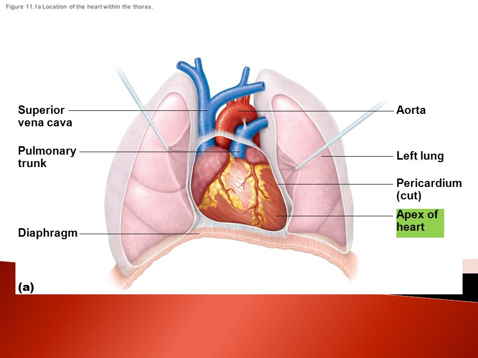 The Cardiovascular System The Heart And Circulation Ppt Video