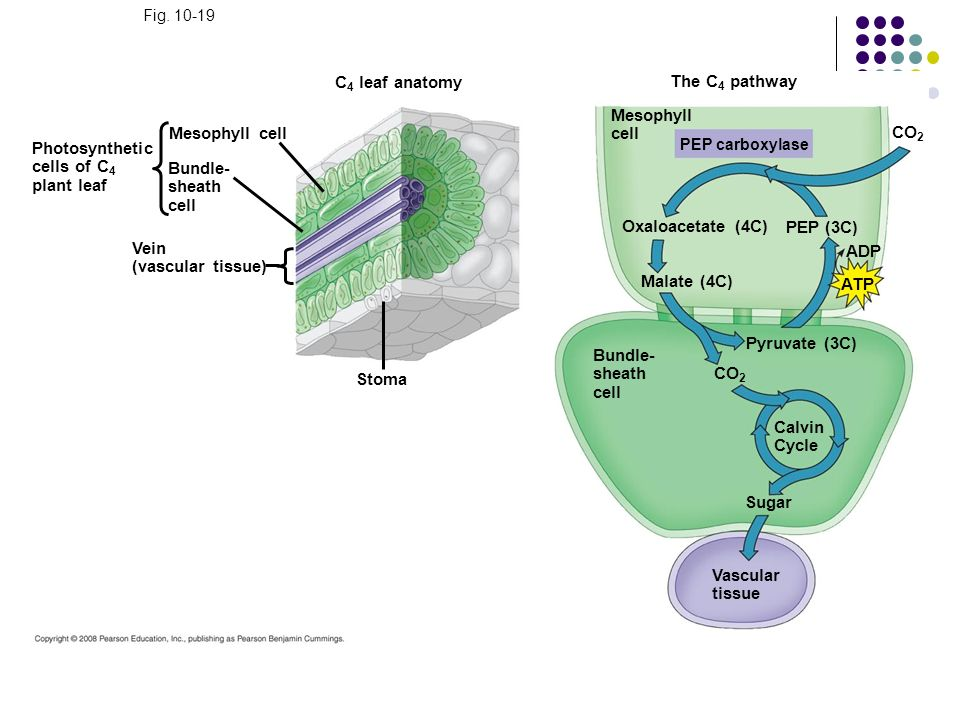 C4 leaf anatomy The C4 pathway Mesophyll cell Mesophyll cell CO2