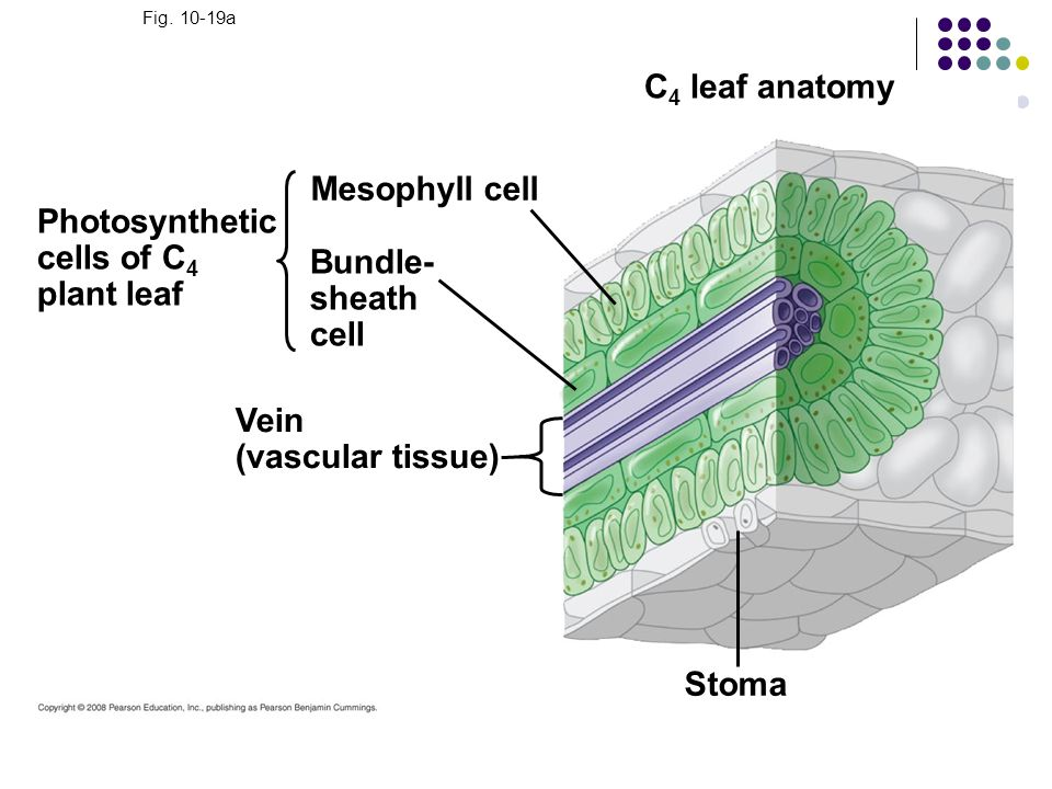 C4 leaf anatomy Mesophyll cell Stoma