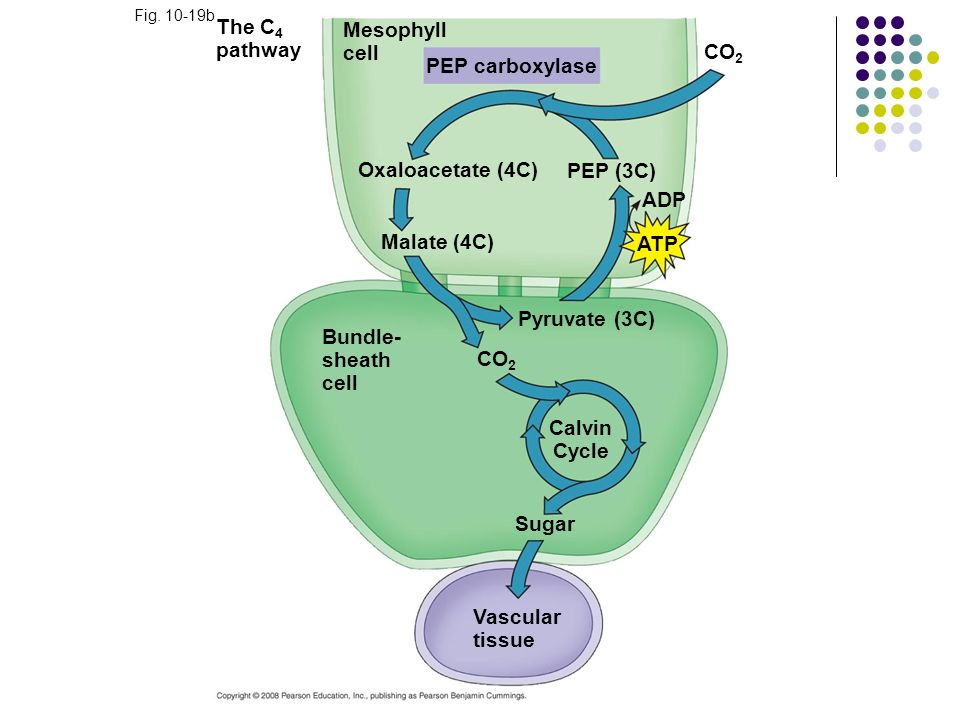 The C4 pathway Mesophyll cell CO2 PEP carboxylase Oxaloacetate (4C)