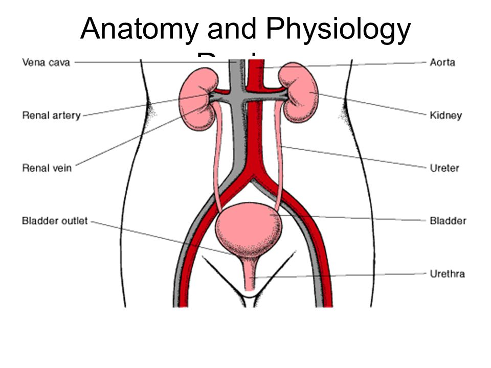 Chapter 39 Urinary System. - ppt video online download