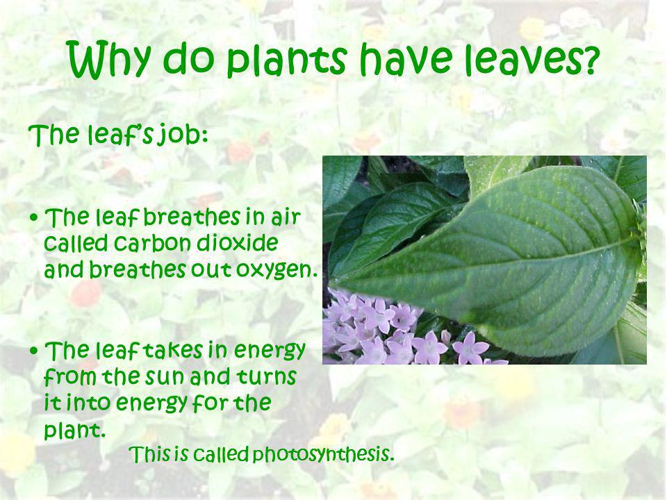 Why do plants have leaves