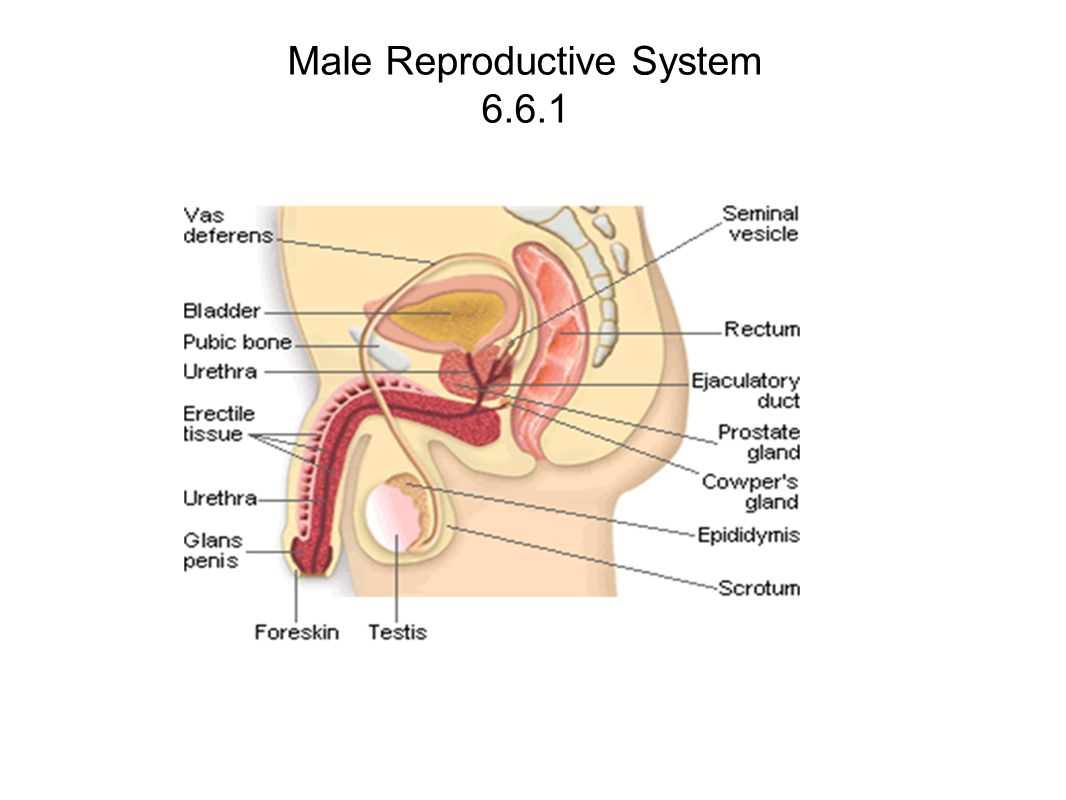Human Reproduction Diagram Male Auto Electrical Wiring Diagram