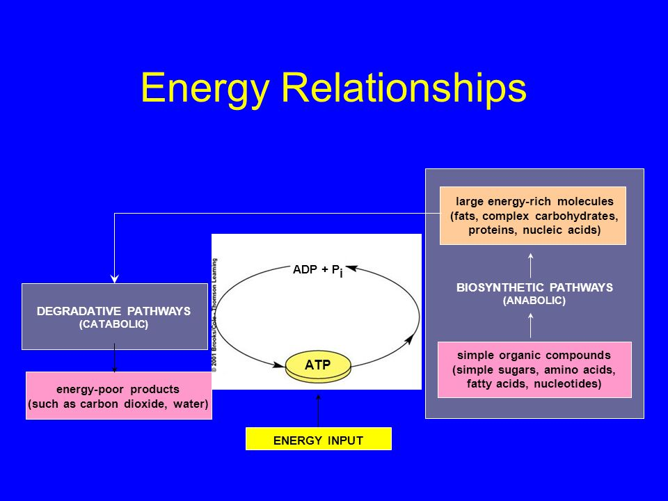 Energy Relationships ATP large energy-rich molecules