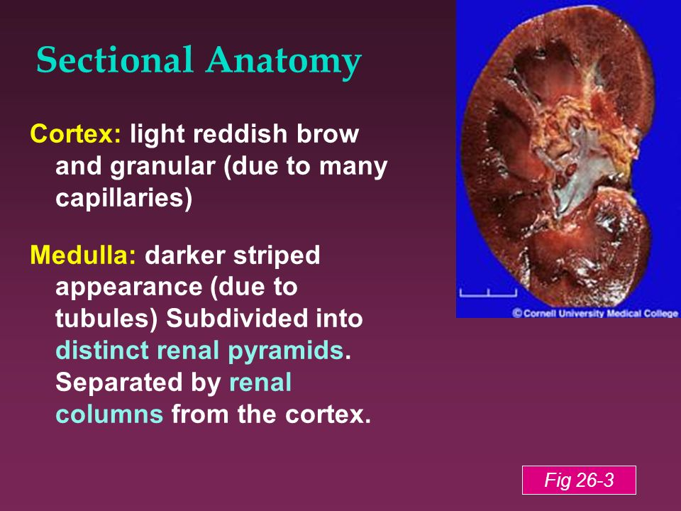 Sectional Anatomy Cortex: light reddish brow and granular (due to many capillaries)