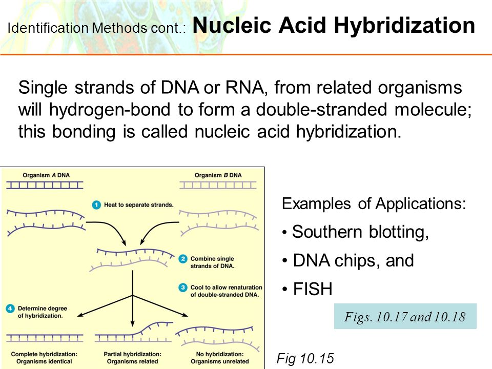 Identification Methods cont.: Nucleic Acid Hybridization