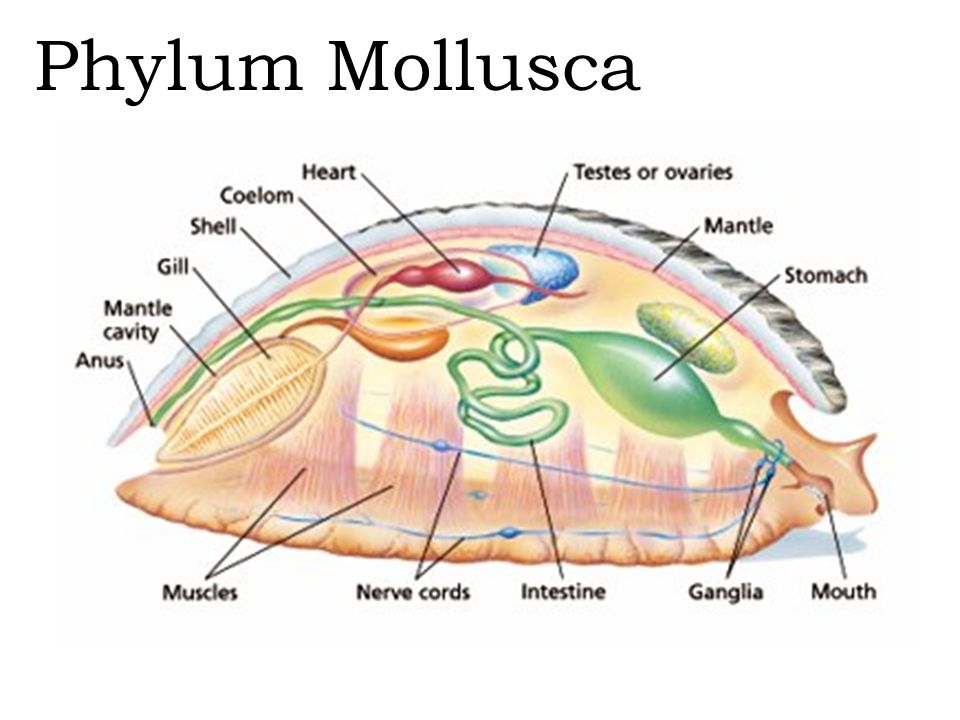 Mollusk Body Diagram - Circuit Wiring And Diagram Hub •