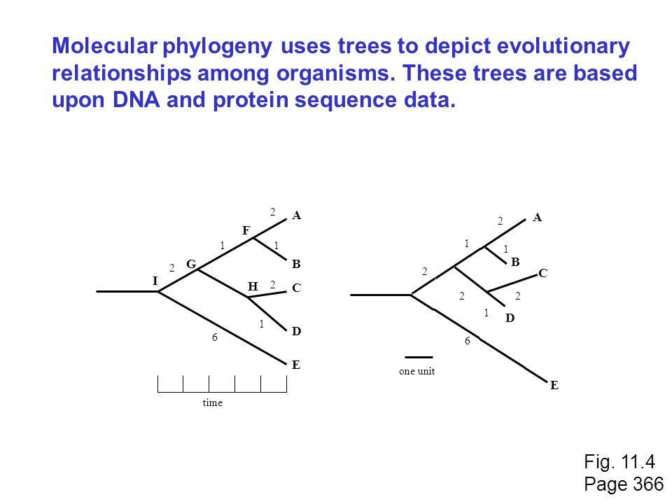 Molecular phylogeny uses trees to depict evolutionary